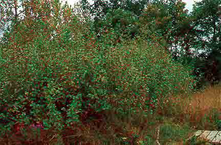 Common Buckthorn: An Ecological Threat & What You Need to Know