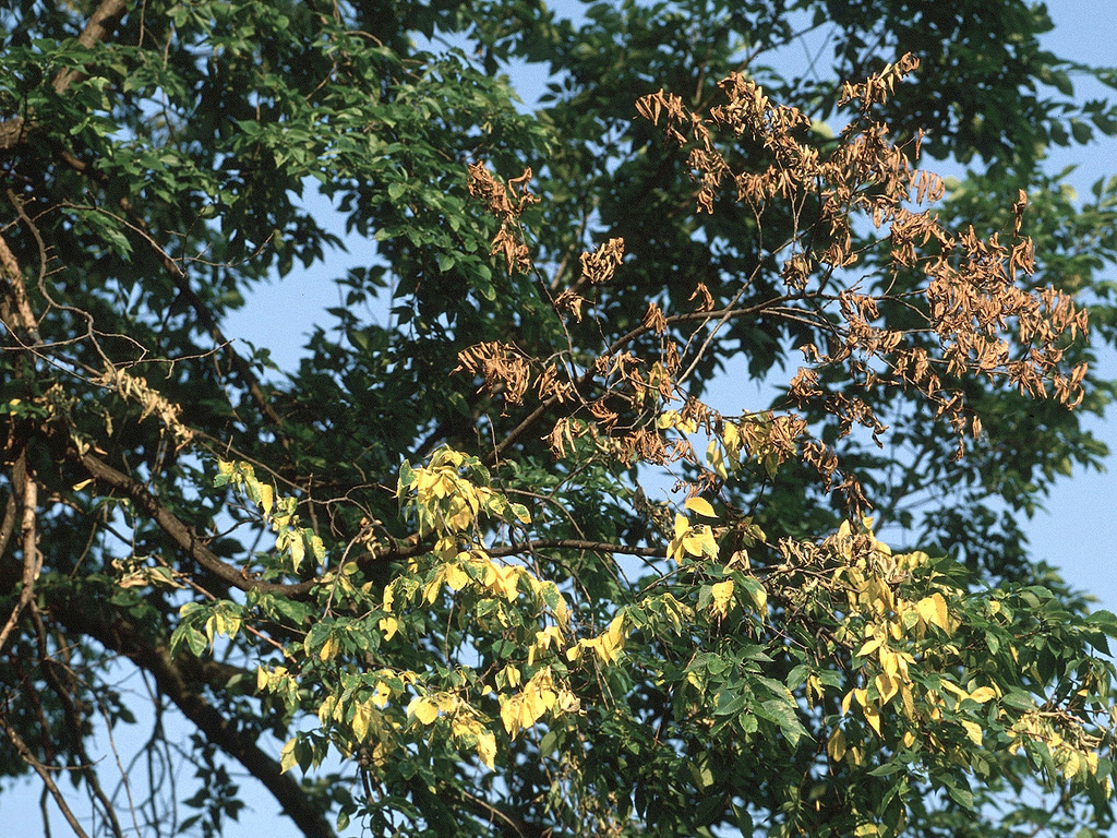 dutch elm disease minnesota