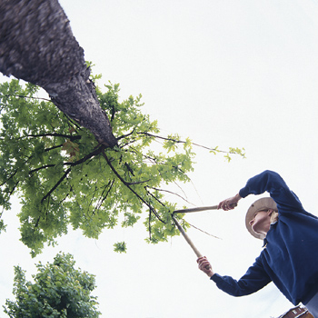 tree pruning season in Minnesota